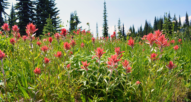 Here's a closeup view of these lovely blooms. Laura Bear photo courtesy of Parks Canada