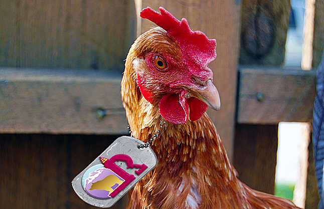 After pecking over the long-delayed backyard chicken issue Council has ordered up a public hearing to determine what interested members of the public have to cluck about it. Revelstoke Current Photoshop illustration