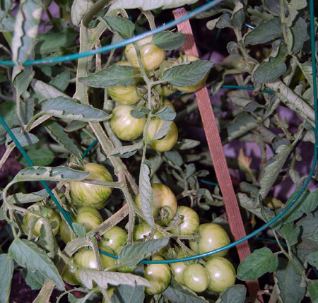 These tomatoes are still green but a little more warm, sunny weather and they'll be a nice ripe shade of red. David F. Rooney photo