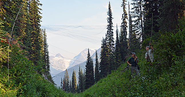 Parks Canada researchers set up a mist net (black, fine-meshed net that is virtually invisible at night) in Glacier National Park's Cougar Valley last summer. The net is so fine that bats' echo location abilities cannot detect it. Parks Canada biologists are trying to learn as much as they can about local bat populations before the deadly White Nose Syndrome fungus makes an appearance west of the Great Lakes. WNS has killed between 6 and 8 million bats in eastern North America and is slowly making its way West across the continent. Photo courtesy of Parks Canada