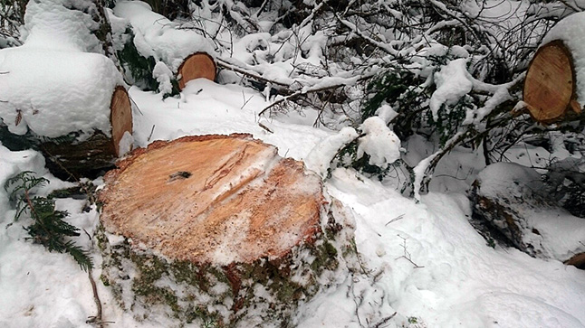 Illegal cutting of mature hemlock and fir trees from provincial parks in The Shuswap Parks is troubling officials as well as environmentally minded community members. Photo courtesy of the Shuswap Trail Alliance