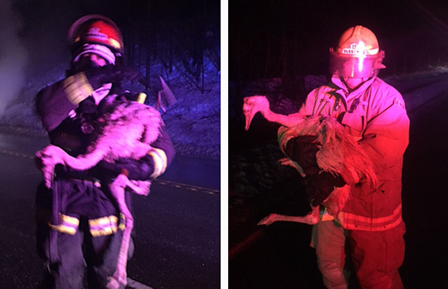 Here's something you don't see every day: firefighters rescuing large flightless birds from a vehicle that caught fire at the junction of Alpine Lane and the Trans-Canada Highway at 3:23 am on Monday, December 7. The birds were Rheas — large flightless birds from the pampas of Argentina, Chile, Paraguay, Uruguay, Brazil and Peru that were being transported in a pickup truck. Some ducks, that had also been in the truck did not survive the vehicle fire. Photo courtesy of the Revelstoke Fire Rescue Society