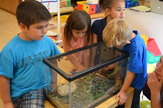 """Nathan Levine (left) and his classmates observed the snails that they collected for the aquarium in the kindergarten class. """"If you find any if you can just put them. I found a baby. I've been looking for him all day,"""" Nathan said."""
