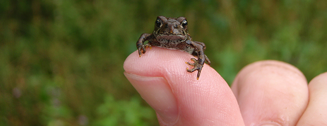 Toadfest at Summit Lake Provincial Park near Nakusp will be held on Wednesday July 27, between 4 and 7 pm, and on the following morning between 9 am and noon. The free, fun, family event is primarily held to raise awareness about the Western Toad: about its natural history and life cycle, habitat requirements, and the challenges it faces. One of the major challenges the toadlets face is to cross Highway 6 at Summit Lake. There they run the risk of getting squashed as they migrate from the lake's shoreline to the upland habitat where they mature. Photo courtesy of the Fish & Wildlife Compensation Program