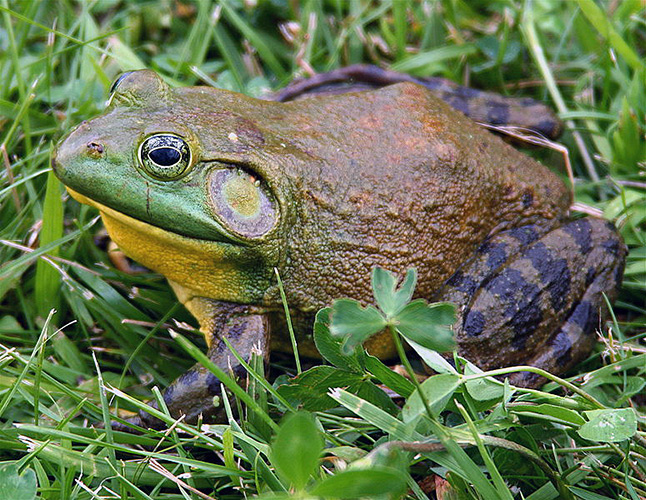 The American bullfrog, int5oduced to Vancouver Island in the 1930s as a source of commercial frogs' legs, is voracious predator that is now found in the Okanagan and could be on its way here. Photo courtesy of the Invasive Species Council of BC